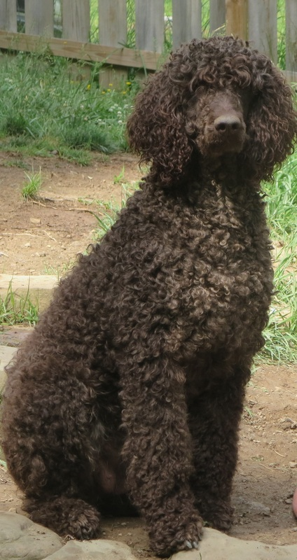 East Tennessee Standard Poodles - INFORMATION